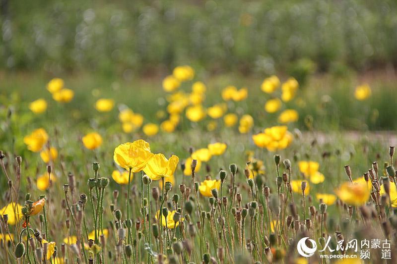 蒙草抗旱种植的野罂粟