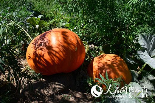 内蒙古赤峰农民种出100余斤巨型南瓜