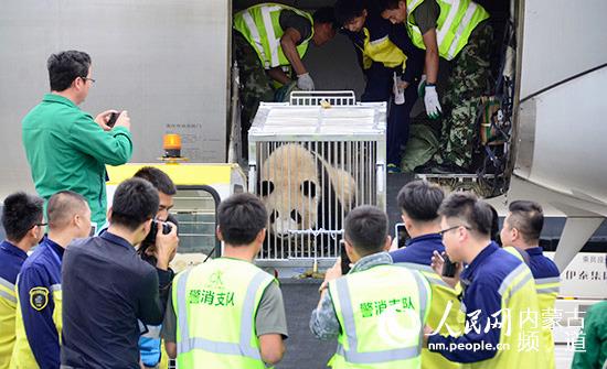 大熊猫乘坐飞机,来到鄂尔多斯。  因现场工作人员较多,七巧略显害羞。  好奇的七喜  工作人员将大熊猫搬运上专车 人民网鄂尔多斯9月26日电 (陈立庚)9月26日下午,首对国宝大熊猫七巧、七喜双胞胎姐妹,乘机飞离成都大熊猫繁育研究基地,抵达内蒙古,安家鄂尔多斯野生动物园。 七巧、七喜今天上午从四川成都大熊猫繁育研究基地出发,下午3点10分抵达鄂尔多斯机场。简单的欢迎仪式后,由工作人员护送大熊猫从机场到达鄂尔多斯野生动物园大熊猫馆。经过一定时间的隔离适应期后,将于10月1日国庆期间与游客