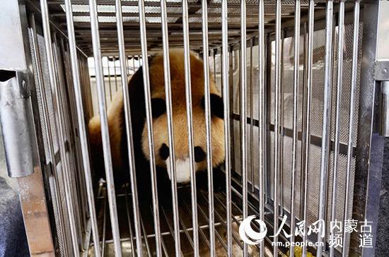 鄂尔多斯动物园熊猫