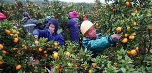 江西新余:发展蜜桔产业 助力脱贫致富