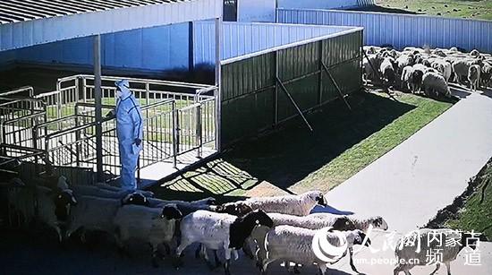 """二连浩特:全力保障三万只羊安全""""过关"""""""