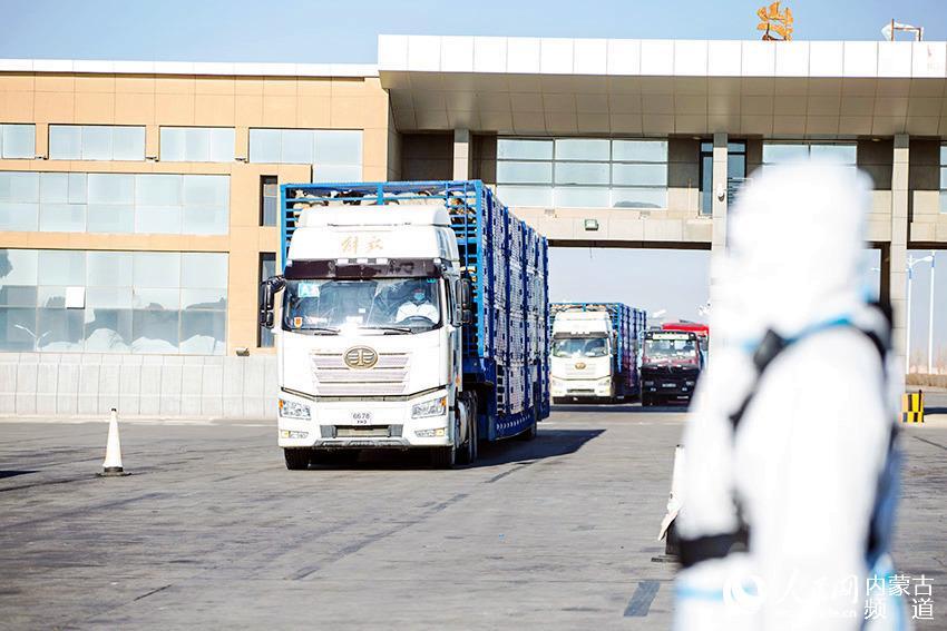 11月13日,内蒙古出入境边防检查总站二连出入境边防检查站执勤民警对载羊车辆进行车体检查。郭鹏杰 摄