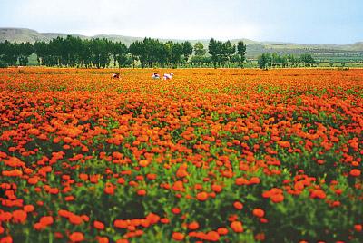 内蒙古种植菊花农民增收